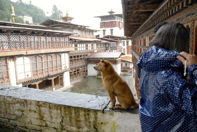 dzong cane